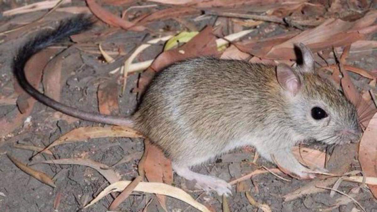 Pequeño roedor australiano
