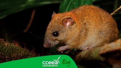 Pequeño roedor australiano se extingue a causa del cambio climático