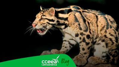 El leopardo nublado de Formosa que se creía extinto, reaparece