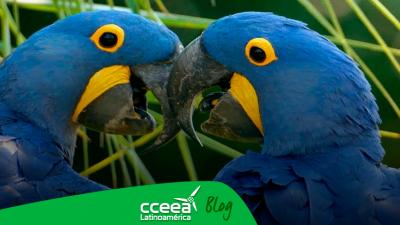 Nace un guacamayo azul y salva a su especie de la extinción
